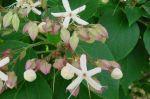 Clerodendrum_trichotomum var.fargesii